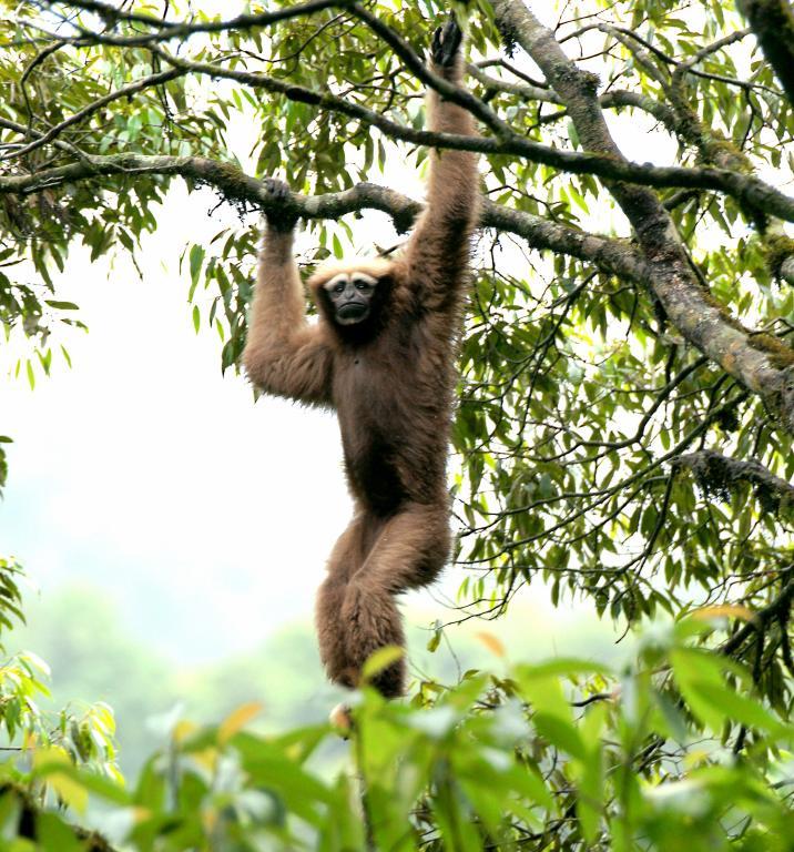 国家一级保护动物白眉长臂猿